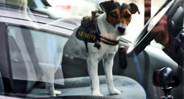 """""""Bomb-sniffing dogs are expensive to train, and they can become tired,"""" says Ren-Min Ma. """"Our technology could lead to a bomb-detecting chip for a handheld device that can detect the tiny-trace vapor in the air of the explosive's small molecules."""" (Credit: Artem Marchenko/Flickr)"""