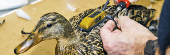 A scientist adds the tracking device to a mallard before its migration flight. (Credit: Mike Wintroath/Arkansas Game and Fish Commission)