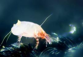 House dust mite (Dermatophagoides pteronyssinus).