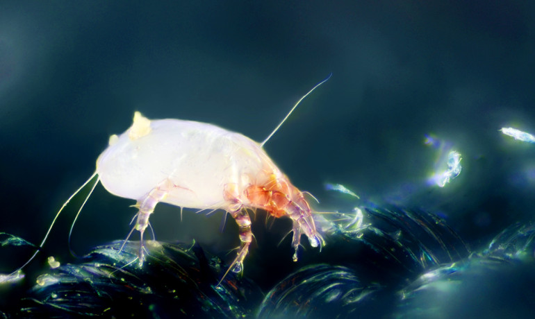 House dust mite (Dermatophagoides pteronyssinus).