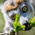 lemur eating a leaf