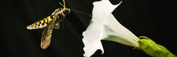 """""""Nature can be complex, but an urban environment is a whole other layer on top of that,"""" says Jeffrey Riffell.""""These moths are not important pollinators in urban environments, but these same volatiles from vehicles may affect pollinators like honeybees or bumblebees, which are more prevalent in many urban areas."""" Above, Manduca sexta feeding from Datura wrightii flower. (Credit: Kiley Riffell/Flickr)"""