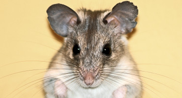 mouse face against yellow background