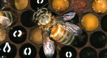 """These parasite-free populations in Newfoundland are essential for our ability to understand the interactions among various parasites and pathogens of honey bees,"" says Nancy Ostiguy. (Credit: Nancy Ostiguy/Penn State)"