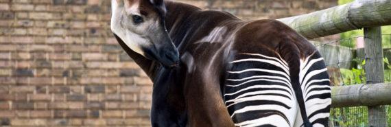 """The data show that okapi have survived through historic changes in climate, and therefore indicate that the species may be more resilient to future changes,"""" says David Stanton. """"There is a concern, however, that much of this genetic diversity will be lost in the near future, due to rapidly declining populations in the wild making efforts to conserve the species."""" (Credit: cactusbeetroot/Flickr)"""