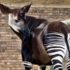 "The data show that okapi have survived through historic changes in climate, and therefore indicate that the species may be more resilient to future changes,"" says David Stanton. ""There is a concern, however, that much of this genetic diversity will be lost in the near future, due to rapidly declining populations in the wild making efforts to conserve the species."" (Credit: cactusbeetroot/Flickr)"