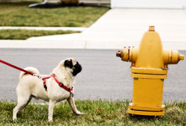 """It turns out that you don't need external pressure to get rid of fluids quickly,"" says David Hu. ""Nature has designed a way to use gravity instead of wasting the animal's energy."" (Credit: ""pug dog"" via Shutterstock)"