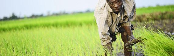 rice farmer in Uganda
