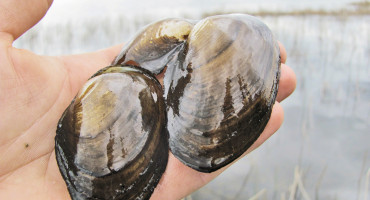 """""""Each native mussel filters about two liters of water a day, so it doesn't take a whole lot to improve water quality,"""" Richard Luthy says. (Credit: Travis/Flickr)"""
