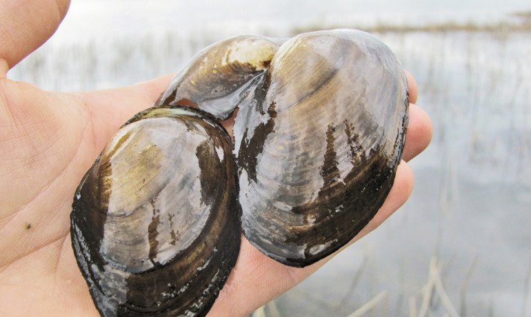 """Each native mussel filters about two liters of water a day, so it doesn't take a whole lot to improve water quality,"" Richard Luthy says. (Credit: Travis/Flickr)"