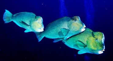 three bumphead parrotfish