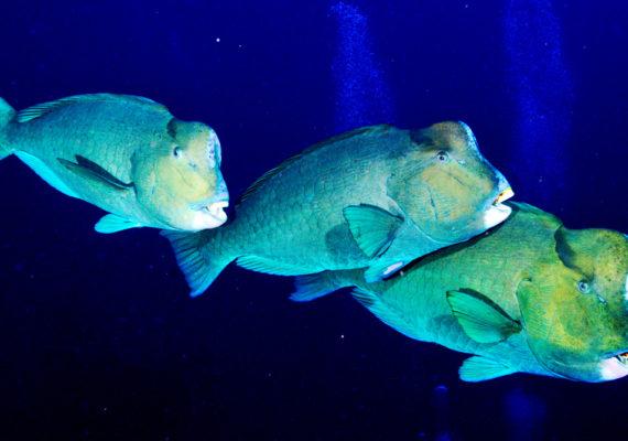 three bumphead parrotfish