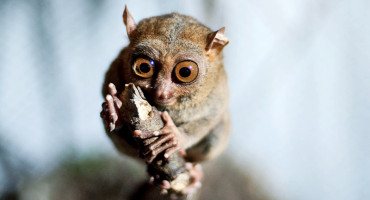 a tarsier clings to a branch