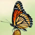 Viceroy butterfly on Mexican hat