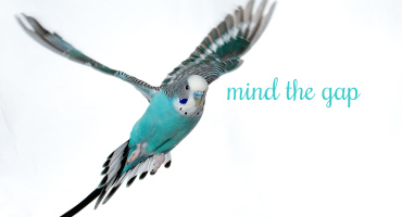 budgerigar flying
