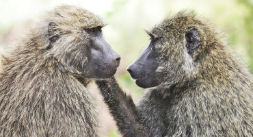 male and female baboon