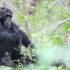 chimp in the wild