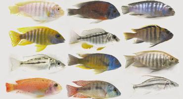 male cichlid fish