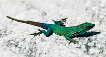 lizard basking on concrete