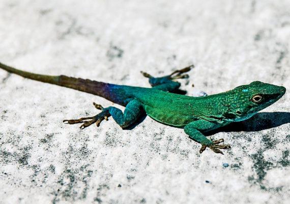 lizard basking on concrete
