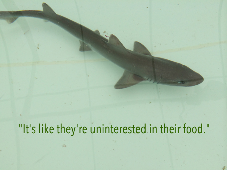 smooth dogfish shark