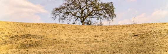 dying tree affected by California drought conditions