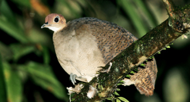 great tinamou bird on branch