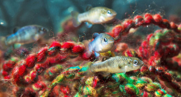 "pupfish and a yarn ""spawning mop"""