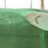 dogfish shark in a tank