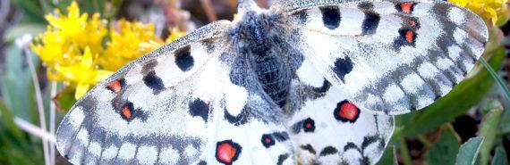 An alpine butterfly (Parnassius smintheus)