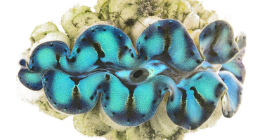 iridocytes on a giant clam