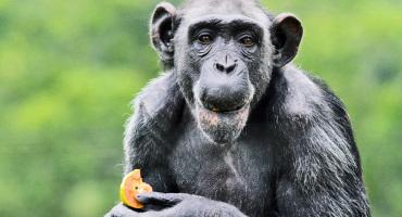 chimpanzee eats fruit