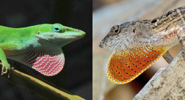 green anoles and brown anoles lizards