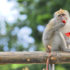 rhesus monkey eats a red flower