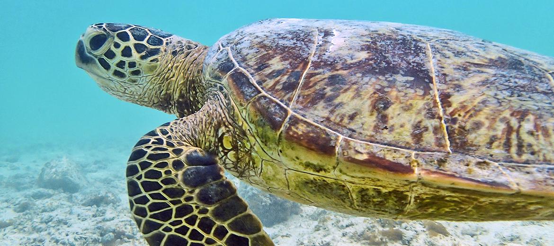 Hawaiian sea turtle swimming