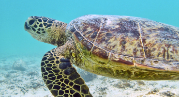 Hawaiian sea turtle swimming