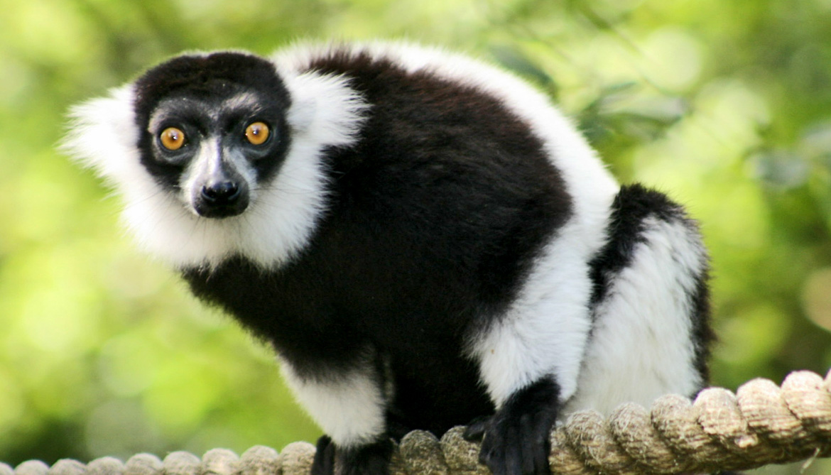 southern black-and-white ruffed lemur