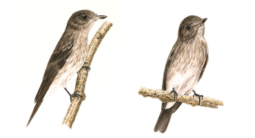 two views of the Sulawesi streaked flycatcher