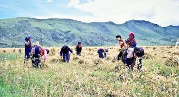 Tibetans harvest barley