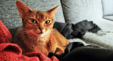 Abyssinian cat on couch