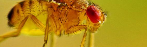 Drosophila fruit fly