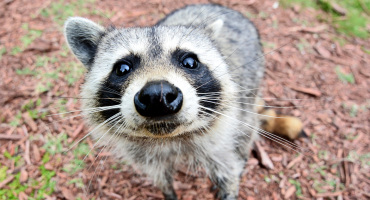 raccoon sniffs camera