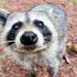 raccoon sniffs camera