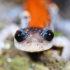 Plethodon yonahlossee (Yonahlossee Salamander)