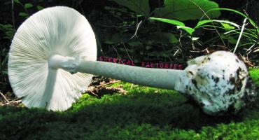 toxic mushroom Amanita bisporigera