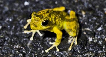 Ryukyu Kajika Frog, Buergeria japonica