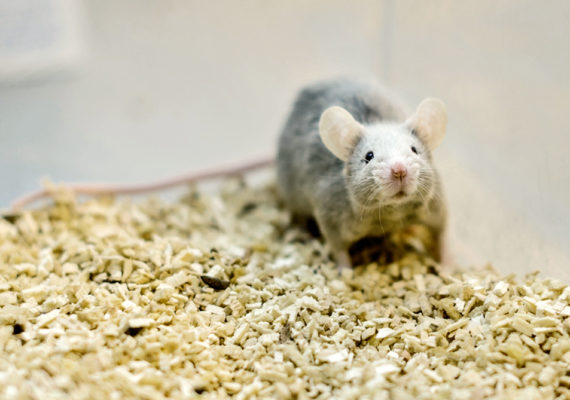 lab mouse in wood chips