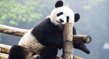 panda leans against a perch