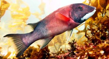 sheephead fish