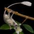 Dryomomys szalayi image